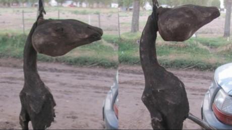 Animal extraño en Leubucó
