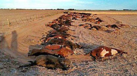 La Pampa novillos muertos